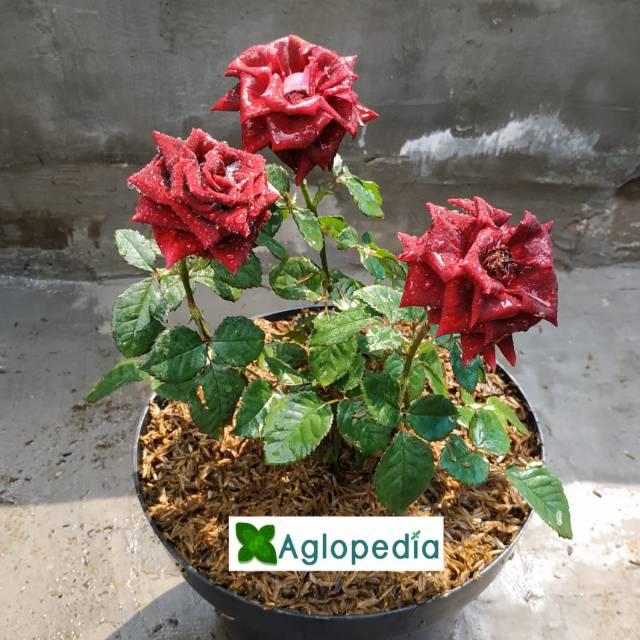 Jual Tanaman Bunga Mawar Merah Maroon Shopee Indonesia