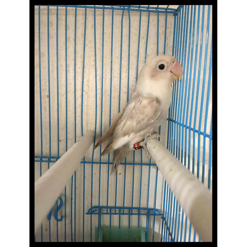 Unduh 62+ Foto Gambar Burung Lovebird Sable  Paling Bagus