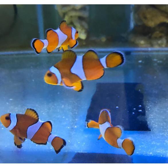 Turun Harga Ikan Hias Laut Nemo Biasa Shopee Indonesia