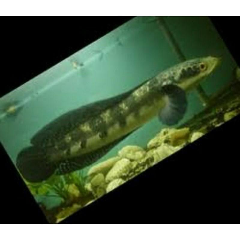 ikan channa green marulius