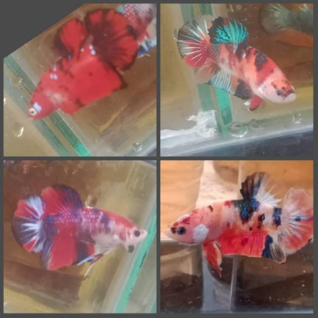Ikan Cupang Nemo Koi Halfmoon Serit Crowntail Avatar Black Shopee Indonesia