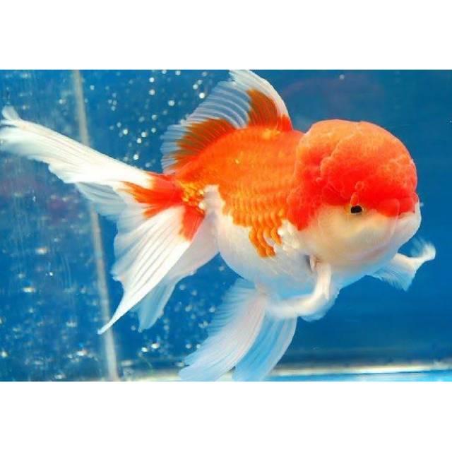 Ikan mas koki oranda jumbo | Shopee Indonesia
