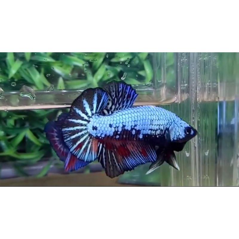 Ikan Cupang Avatar Nemo / Betta Avatar Nemo