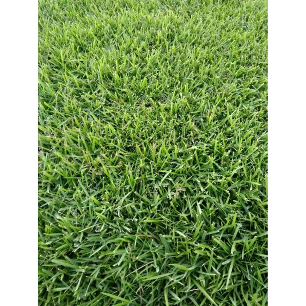 Bibit / benih rumput golf /BERMUDA GRASS MAICA LEAF isi 50 butir | Shopee Indonesia