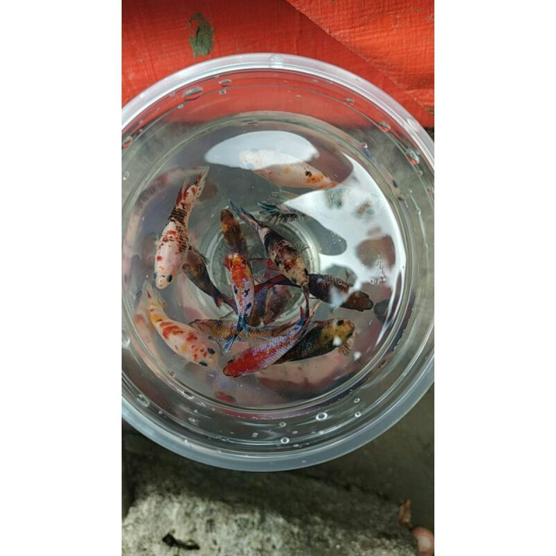 Ikan Hias Betina Nemo Galaxy