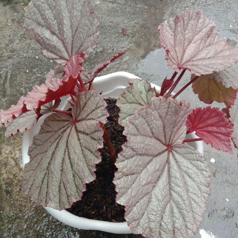 Begonia Silver