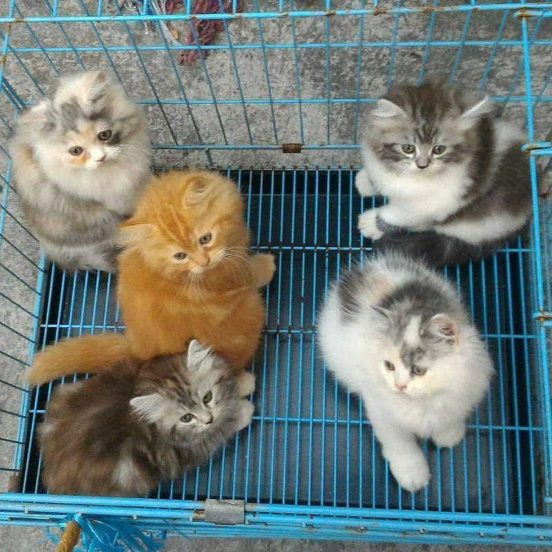 Jual anak kucing anggora lucu