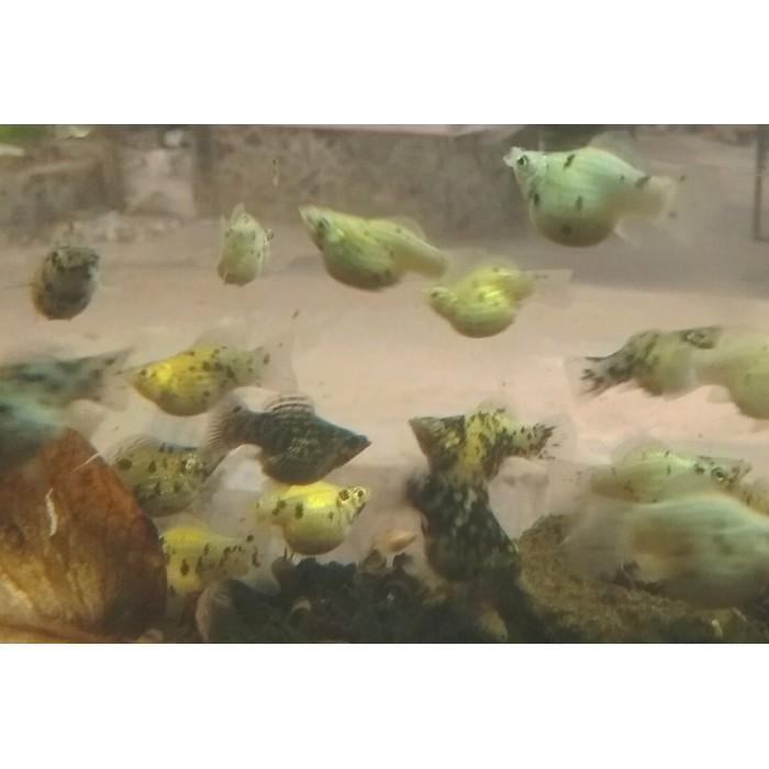 Unduh 45 Gambar Ikan Hias Molly HD Terbaru
