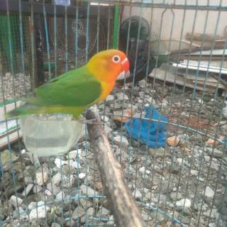 Lovebird Paskun Kotor Baby Shopee Indonesia