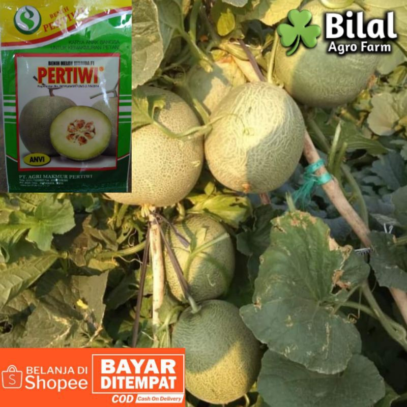 Benih Melon Pertiwi Anvi 15gr || Bibit Hibrida Tahan Virus
