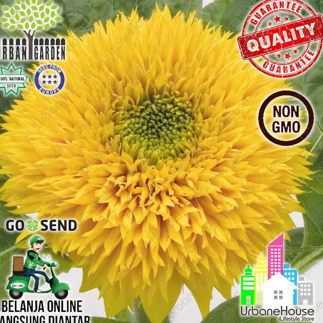 10 Benih Bunga Matahari Import mix F1 mr fothergills bibit tanaman SUNFLOWER | Shopee Indonesia