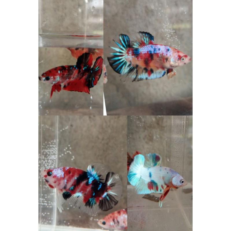 ikan cupang multi color nemo galaxsi avatar cooper gold