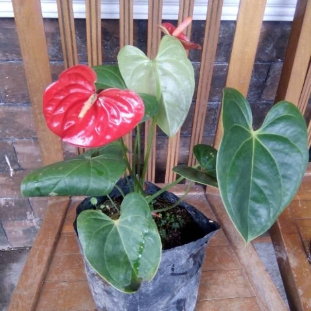 Anthurium Bunga Merah Bisa Cod Shopee Indonesia