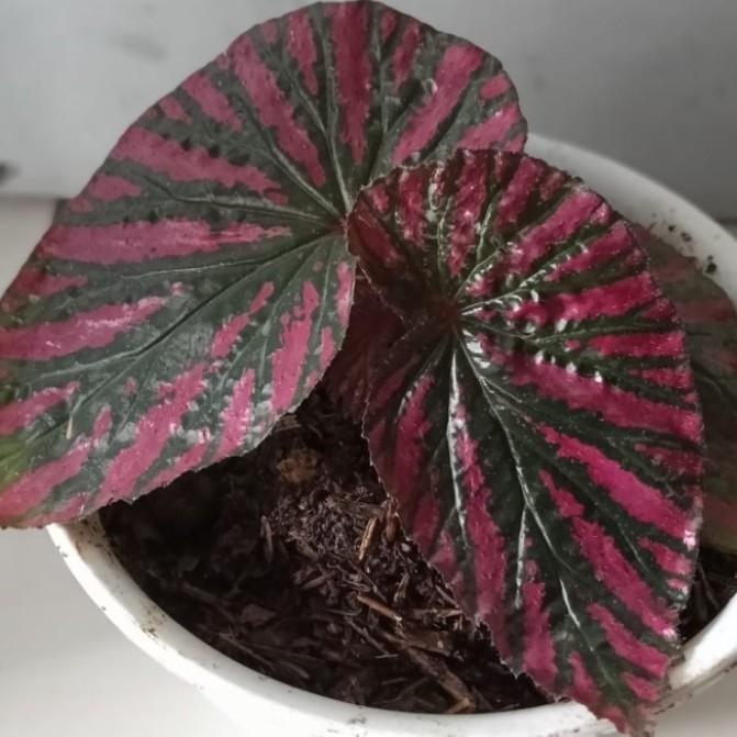 Tanaman hias begonia rex violet