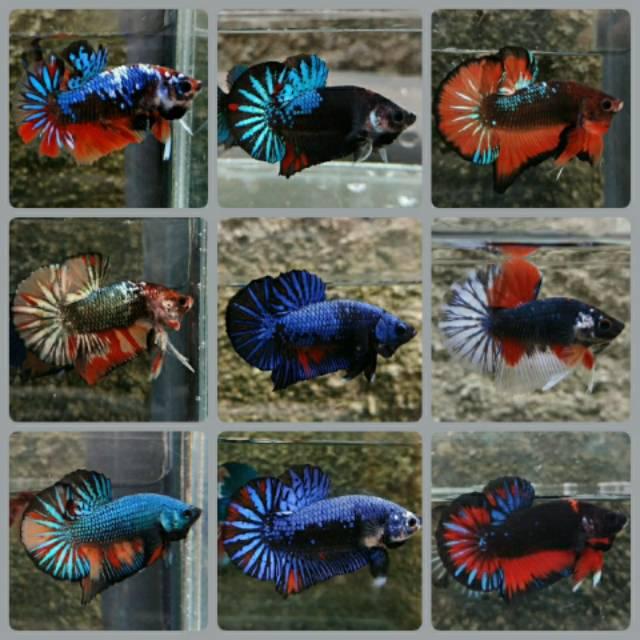Ikan Cupang Bbl Avatar Gordon Shopee Indonesia