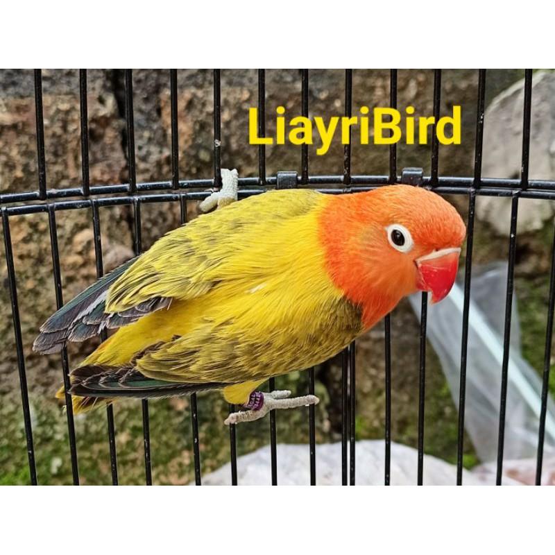 Burung Lovebird Biola Euwing Gold/Pf/PB Betina