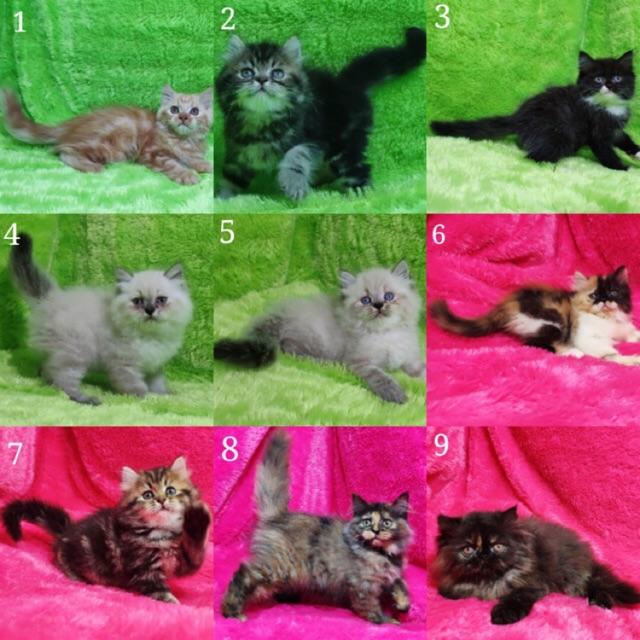 Kucing Kitten Persia Anggora Longhair Shopee Indonesia