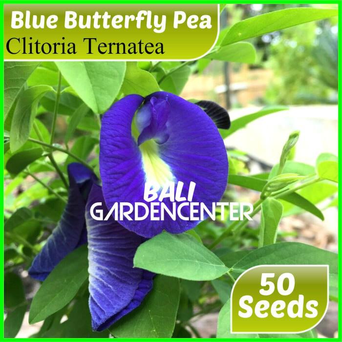 Isi 50 Benih Biji Bunga Telang Biru Butterfly Pea Shopee Indonesia
