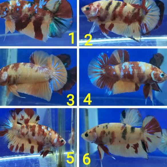 Hn9 Ikan Cupang Giant Nemo Yellow Base Sak Shopee Indonesia