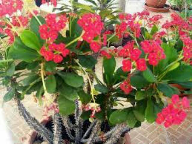 Stek Bunga Euphorbia Bibit Bunga Euphorbia Shopee Indonesia