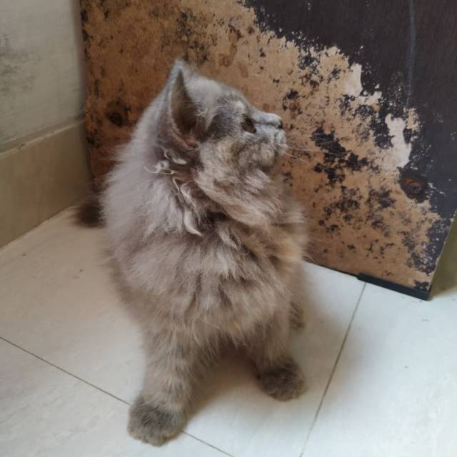 Kitten Persia Mix Mainecoon Betina Shopee Indonesia