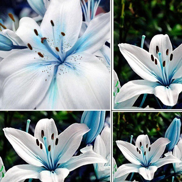 100pcs Beg Bunga Tulip Mawar Lavender Benih Mentol Lily Warna Biru Shopee Indonesia