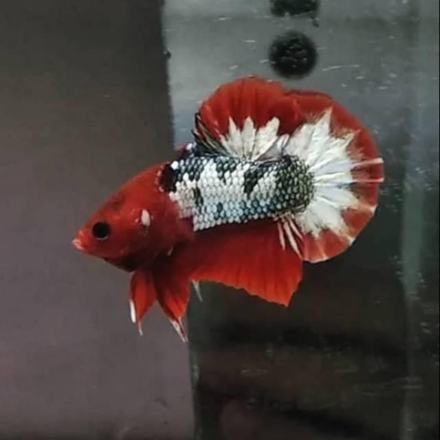 Ikan Cupang Fccp Red Base Shopee Indonesia