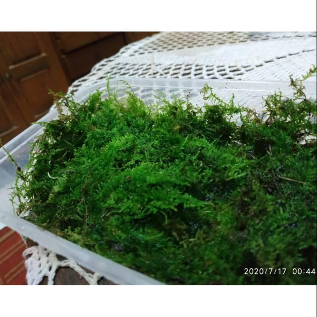 Moss Darat Untuk Paludarium Aquascape Moss Java Perkotak 10x14cm Shopee Indonesia