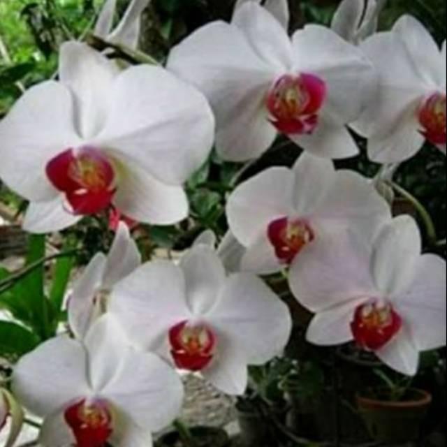Tanaman Bunga Anggrek Bulan Warna Putih Dalamnya Cokelat Siap Berbunga Shopee Indonesia