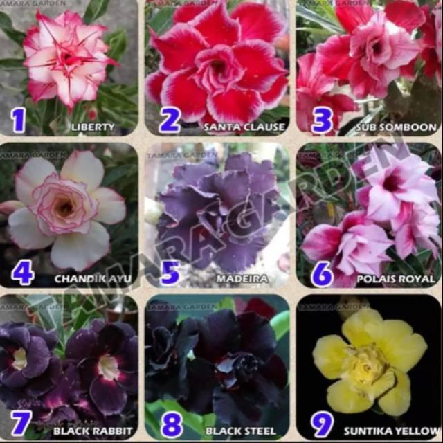 New Paket 20 Jenis Tanaman Adenium Bunga Tumpuk Tanaman Hias Kamboja Adenium Tumpuk Shopee Indonesia