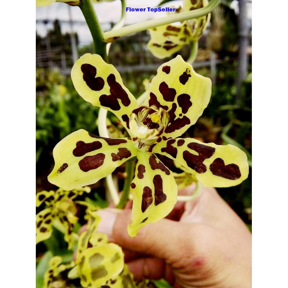 Anggrek Bunga Anggrek Anggrek Macan Grammatophyllum Scriptum Shopee Indonesia