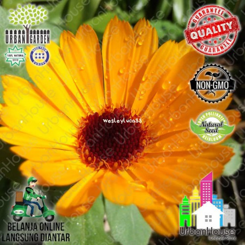 Flower Benih Bunga Calendula Nova Orange Tanaman Pot Marigold 034 Shopee Indonesia