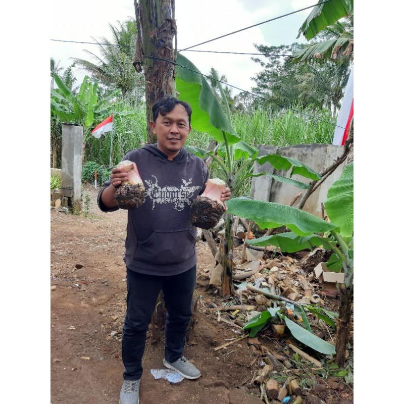 Bibit Pisang Cavendis Fhia 17 Shopee Indonesia