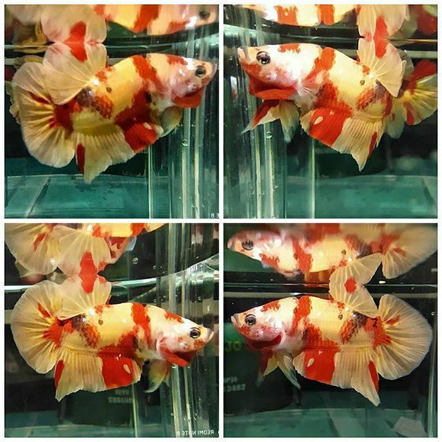 Male Nemo Yellow Base Shopee Indonesia
