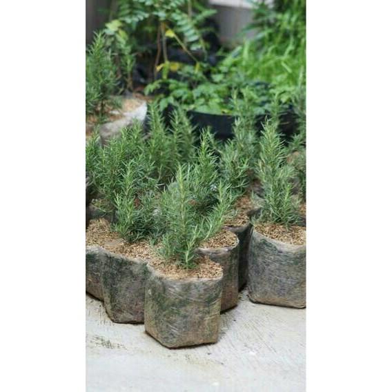 PROMO Benih Bibit Herb Rosemary Rosmarin Pine Scented, tanaman herbal PALING MURAH | Shopee Indonesia