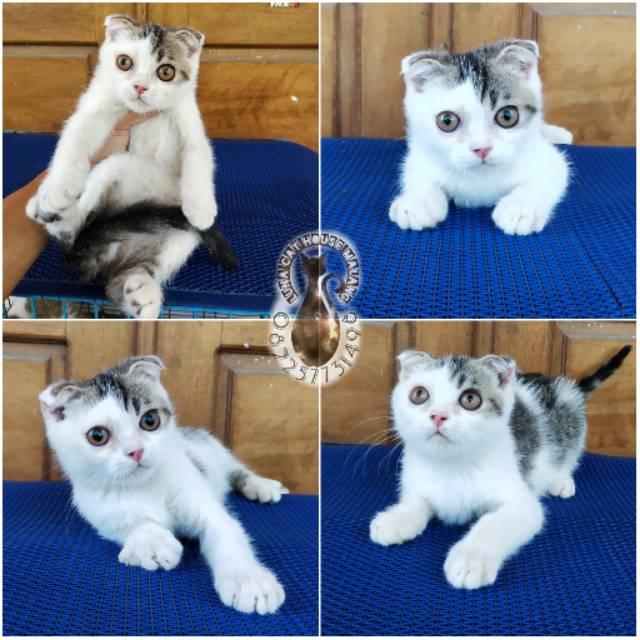 Kucing Jenis Scottish Fold Shopee Indonesia