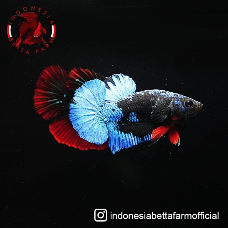 Ikan Cupang Jantan Male Avatar Gordon Super Top Grade Shopee Indonesia