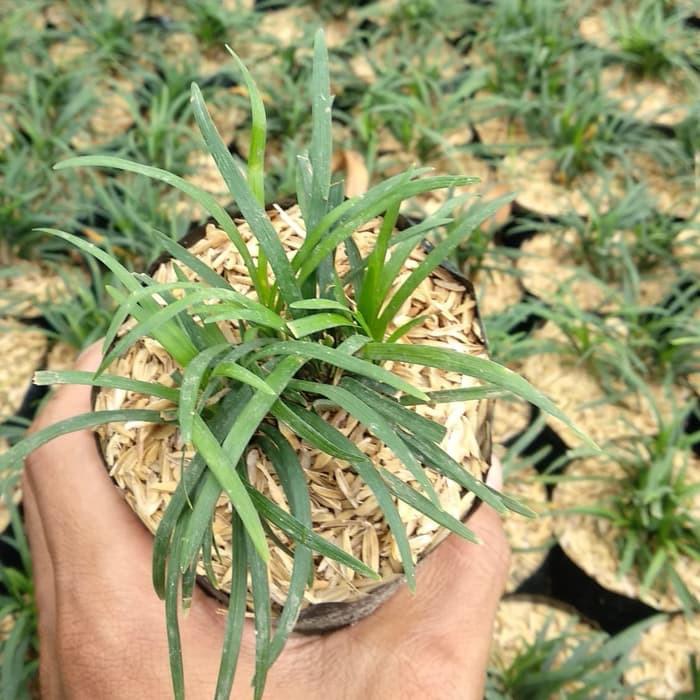 Paket 10 Tanaman Hias Bunga Kucay Kucai Mini Tanaman Hias Bunga Pengganti Rumput Shopee Indonesia