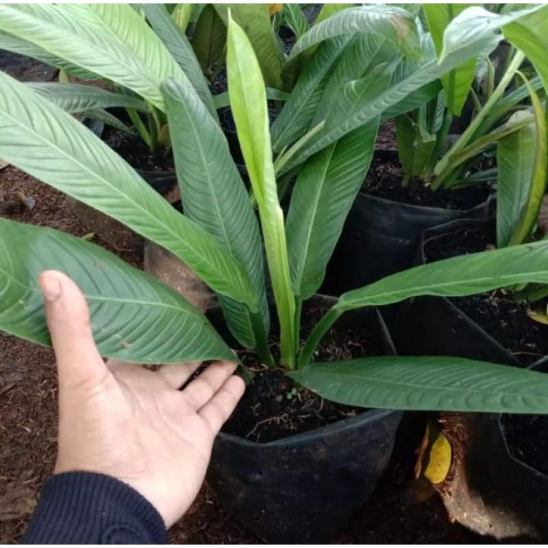 tanaman hias antarium linet/tanaman hias linet/tanaman hias murah