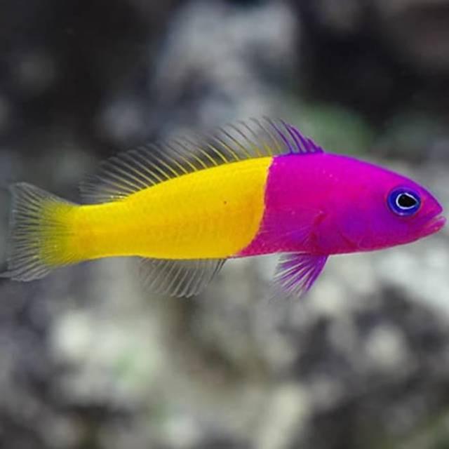 ikan hias air laut ikan cantik