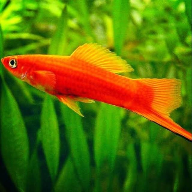 Ikan Pedang Ikan Aquascape Ikan Cantik Ikan Lucu Shopee Indonesia