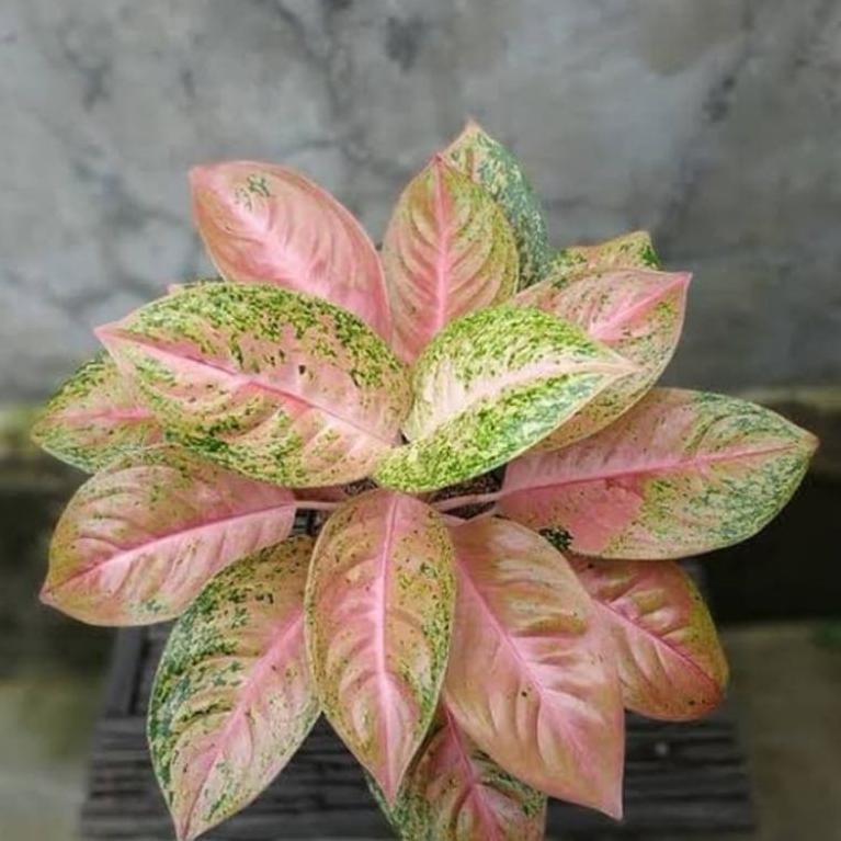 Grosir Aglonema Big Roy mutasi pink