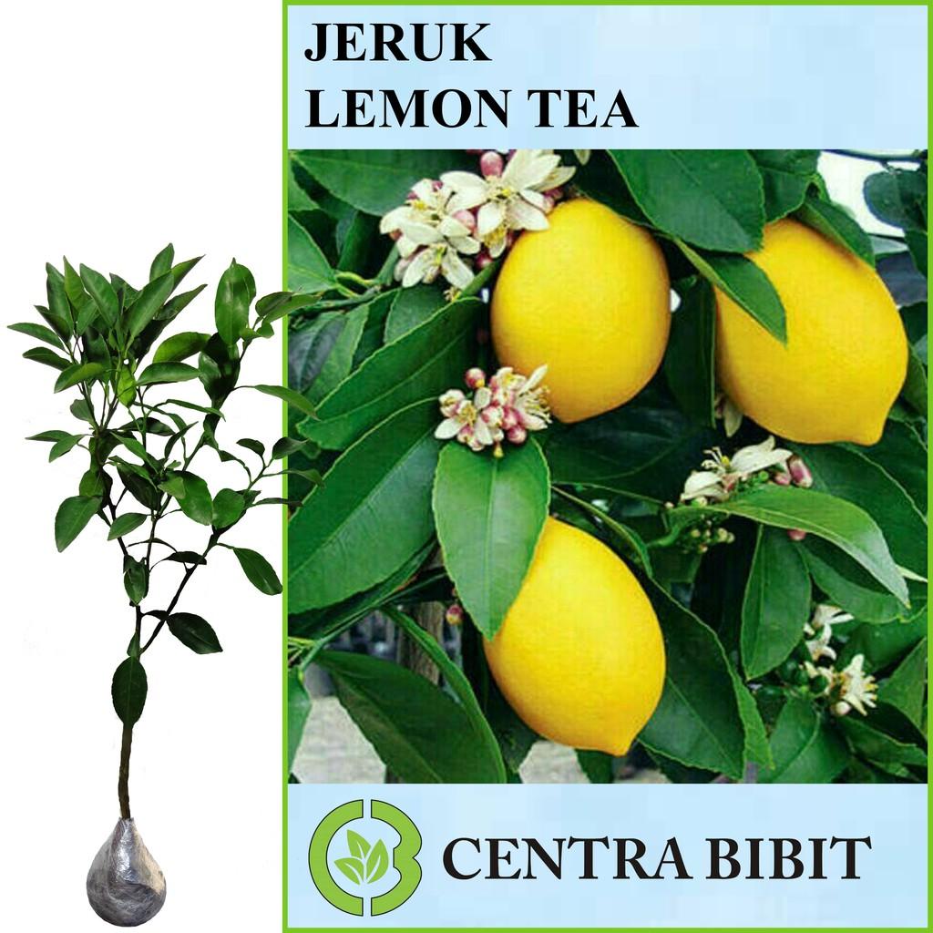 Tanaman Buah Jeruk Lemon Tea 40cm .