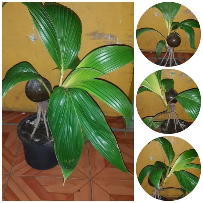 bonsai kelapa gading unik