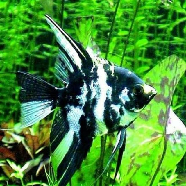Ikan Manfish Jual Perbox Ikan Layang Ikan Air Tawar Shopee Indonesia