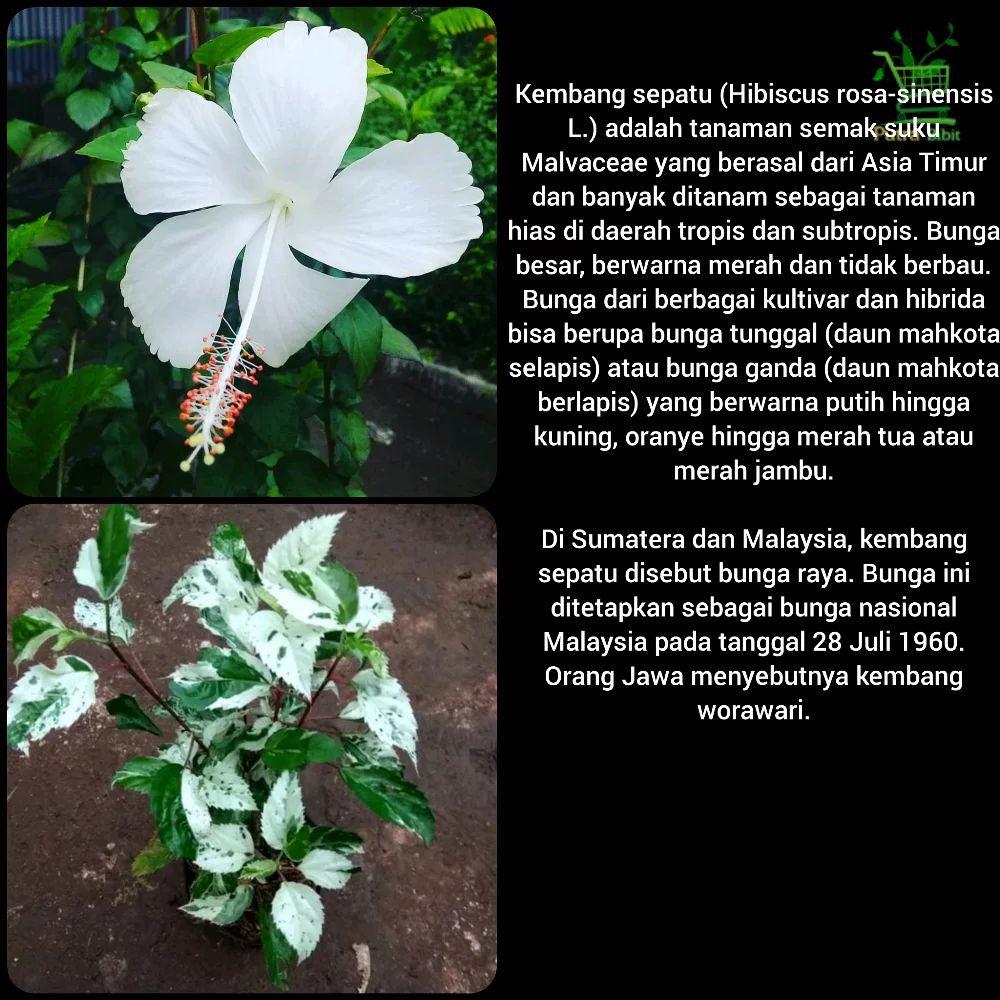 Tanaman Bunga Sepatu Putih Variegata Bibit Pohon Kembang Hias Daun Shopee Indonesia