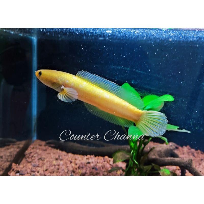 Channa Limbata Golden 10-12cm