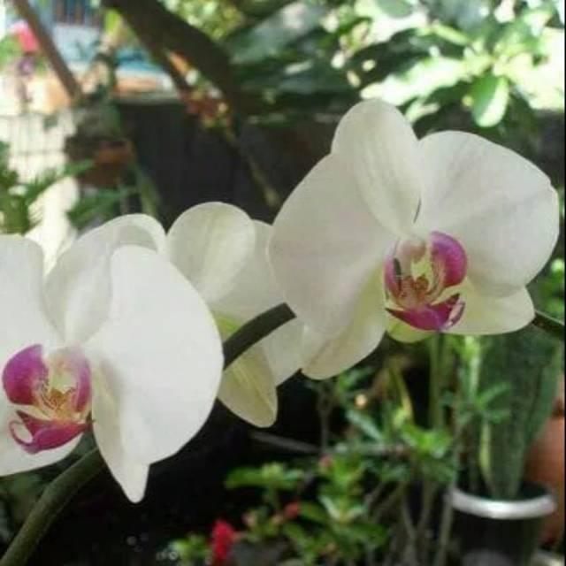 Bibit Bunga Anggrek Bulan Putih Ungu Shopee Indonesia