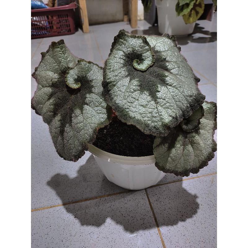Begonia escargot Rex / Begonia keong