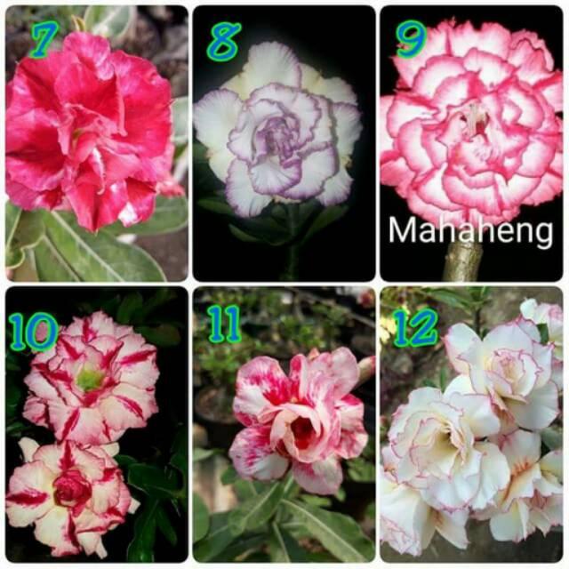 Tanaman Hias Bunga Hias Cantik Untuk Depan Rumah Indah Menawan Mempesona Harum Wangi Murah Bagus Shopee Indonesia